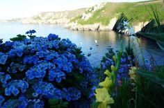 La pointe de Brézellec hortensias | Finistère Bretagne