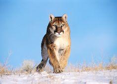 north-america-cougar-mountain-lion-625x450