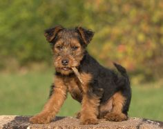 Welsh Terriers - how adorable!!