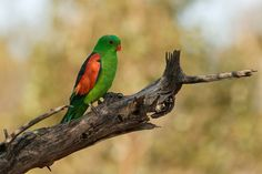 Red-winged Parrot | Flickr - Photo Sharing!