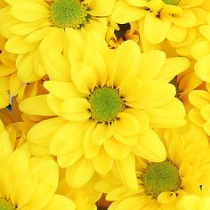 Super Daisy Yellow Flower is a spray flower with a classic bloom with many ray petals radiating out from a disk-shaped center. Each stem has an average of 3-5 flowers. This bright yellow Daisy would add a recognizable touch to any wedding bouquet, table centerpiece or flower arrangement. Our Daisy...