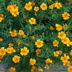 Garden Growing Marigolds, Bean Seeds, Seed Packaging, Canning Tomatoes, Garden Journal, Calendula, Bloom, Fruit, Flowers