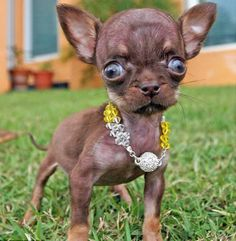 Chihuahua Milly is the world's smallest dog. She was born in lives in Puerto Rico, and she is just inches cm) high. - Animals - Check out: Chihuahua Milly is the World's Smallest Dog on Barnorama Small Puppies, Small Dogs, Cute Puppies, Cute Dogs, Dogs And Puppies, Tiny Dog, Doggies, Ugly Animals, Cute Funny Animals