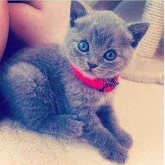 i love cats with blue eyes they are so cute