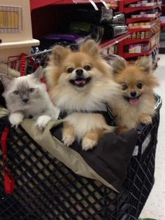 When you go Shopping & come home with more than you bargained for - A Cat & Two Pomeranian Dogs