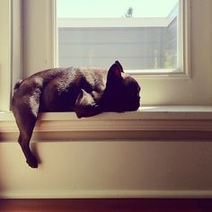 #frenchie #cute #sunbathe