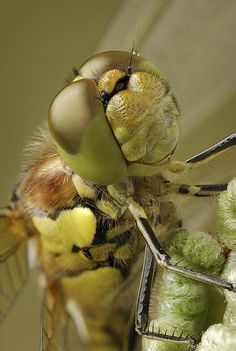 An extreme close-up of a Common Darter, or Darner, Dragonfly perched on a young bracken frond. The image shows the complex structure of its compound eyes and the facial hairs, and the menacing spikes on the forelegs used for holding prey - all details that we fail to notice when we see one flying at the lakeside on a warm summers afternoon.    This one is for Rosy Hall!