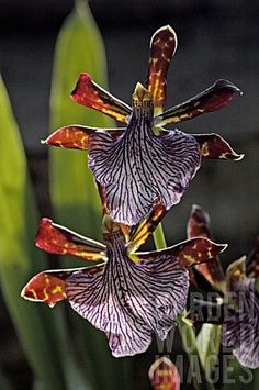 Zygopetalum Orchids need cool temperatures at night between 50-60 degrees. http://www.houseplant411.com/houseplant/orchids-how-to-grow-care