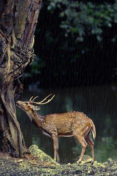 fallow deer in the rain