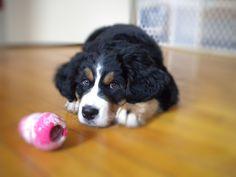 Bernese Mountain dog puppy (mika)