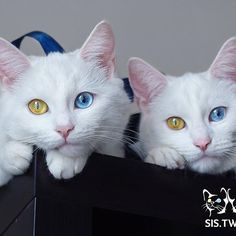 So amazing to see two kitties with identical bi-colored eyes! However when white cats have eyes like this, there's a chance that they might be deaf. Cute Cats And Kittens, I Love Cats, Crazy Cats, Cool Cats, Kittens Cutest, Pretty Cats, Beautiful Cats, Animals Beautiful, Animals And Pets