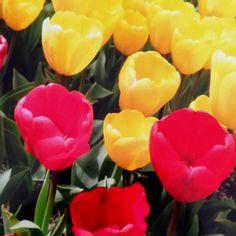 Tulipanes en Corea del Sur