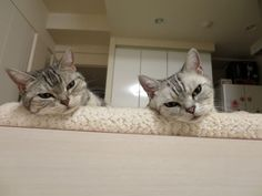 In Sync, Cats, Animals, Life, Cats And Kittens, Gatos, Animales, Animaux, Animal