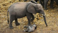 Mother elephant refuses to leave her injured baby's side! For the love of animals. Pass it on.