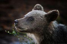 bear by Urs Schmidli on 500px