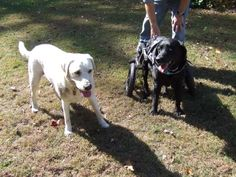 Brady (yellow) trying to get Brady (black) to go run around with him.  Yellow Brady didn't care that Brady was in a wheelchair, he still wanted to run and play.  He was successful as you can see from the panting!  We had to hold Brady's cart to get him to stop for the photo!