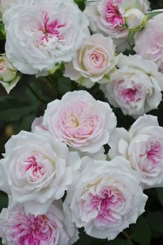 Beautiful Rose Flowers, Flowers Nature, Exotic Flowers, Amazing Flowers, Beautiful Flowers, English Garden Design, Good Morning Flowers, Rose Pictures, Gras