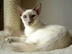 Javanese Cat. They are basically Balinese cats except in a wider variety of colors