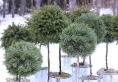 rautakaupoissa Christmas Flowers, Christmas Home, Christmas Wreaths, Evergreen Flowers, Spruce Tree, Holidays And Events, Branches, Projects To Try, Noel