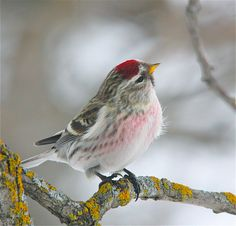 Common Redpoll. I love most birds, but especially the small ones.