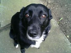 Stella Puppy... border collie - lab mix said to be the most loyal, lovable, and highly intelligent breed,