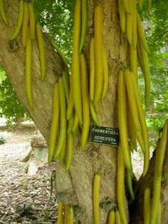 Parmentiera cereifera, the candle tree, in the family Bignoniaceae is endemic to Panama. The edible fruit is a taper-shaped berry up to 60 cm long, waxy in texture. Fruit Plants, Fruit Garden, Fruit Trees, Trees To Plant, Edible Plants, Weird Plants, Unusual Plants, Exotic Plants, Weird Fruit