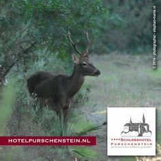 Kerstmis 2014 - Voor sommige wacht het hertenbiefstukje om op het bord te verschijnen, anderen maken een frisse boswandeling. Het zal je maar gebeuren… plotseling sta je oog in oog met een prachtig natuurmonument een echt hert ! Wilt u dit ook meemaken, boek dan nu een vakantie in Duitsland : www.hotelpurschenstein.nl  Wandel door het uitgestrekte bossen van het Erzgebirge waar U ook oog in oog kunt komen te staan met herten, reeën en wilde zwijnen.