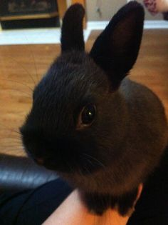 Nibbles Black Bunny, Cuddles, Cute Baby Animals, Bunnies, Cute Babies, Jet, Rabbit, Future, Bunny