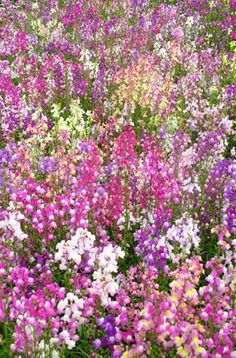 Find help & information on Linaria maroccana Fairy Bouquet Group toadflax Fairy Bouquet Group from the RHS