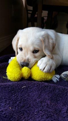 Yellow lab puppy!:)