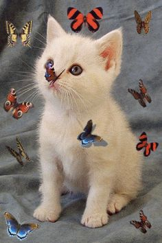 I love butterflies so have made this unique collection of butterfly gif animations, I have named as many of them as possible Cute Cat Memes, Funny Cute Cats, Cute Kittens, Cats And Kittens, Cute Dogs, Kitten Love, Kitten Gif, Butterfly Gif, Baby Animals