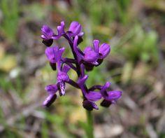 """orchidea selvaggia 7    anche questa si chiama """"sennoredda""""  Wild Orchid"""