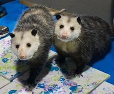 Education possums being CUTE! This is Bert and Ernie; education opossums at the wildlife center of virginia photo credit to Elizabeth Nelson