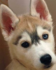 Supercute puppy- the closest to wolves we'll ever get. Huskies are a close favorite after GSDs.