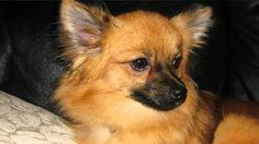 pomeranian dogs mixed with chihuahua face