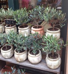 Olive Trees from St Tropez market