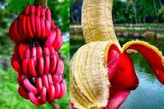 Bananas are the opposite of a stop light. Green means hold on. Yellow means go. And Red means where in the hell did you get that banana???