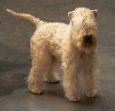 Soft coated wheaton terrier photo | Irish Soft Coated Wheaten Terrier | Ahnentafel für Rassehunde ...