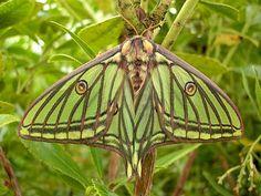 Spanish moth