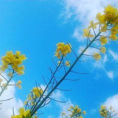 黄色い花 #landscape