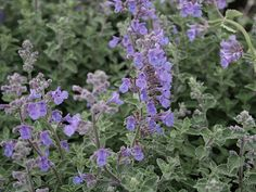 Dropmore Showy Catmint - Nepeta x faassenii 'Dropmore' by Green Acres Nursery and Supply - Roseville and Sac Green, Plants, Landscape Projects, Green Leaves, Perennials, Shrubs, Plant Finder, Garden Plants, Perennial Garden