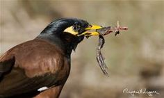 common myna - Bing Images