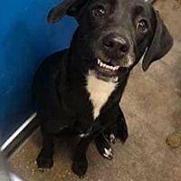 Coldwater, Michigan - Labrador Retriever. Meet Cookie, a for adoption. https://www.adoptapet.com/pet/20705524-coldwater-michigan-labrador-retriever-mix