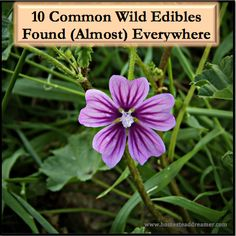 There are wild edibles on every continent and many are considered weeds! Here is a list of 10 common wild edibles found (almost) everywhere!