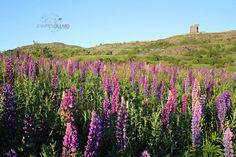 Signal Hill Lupins, Newfoundland by Jennifer Gillard 5x7 archival photo pink by DreamsandNotions, $10.00