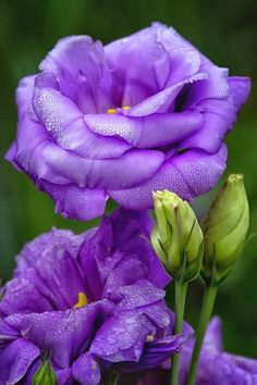 Lisianthus --- The first thing lisianthus plants are known for are their beautiful bell-shaped flowers. Unfortunately, the second thing lisianthus plants are known for is being notoriously difficult to cultivate Exotic Flowers, Amazing Flowers, Purple Flowers, Beautiful Flowers, Beautiful Gorgeous, Nice Flower, Flowers Pics, Flower Colors, Purple Lilac
