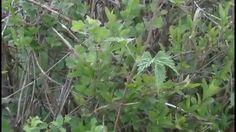 Les plantes sauvages comestibles (partie 2)