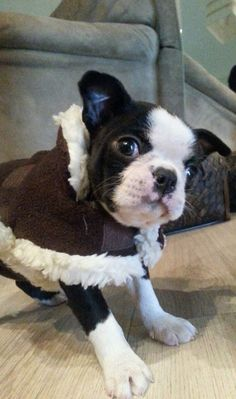 Cute Boston Boy named Tyson at 2 Months Old