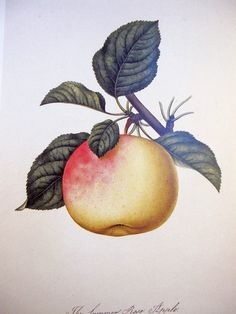 APPLE Vintage Botanical Print Fruit 1984 by NaturalistCollection
