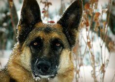 Snow Shepherd